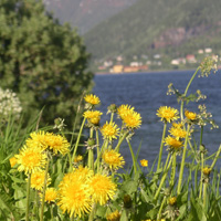 Dandelions in Northern Norway