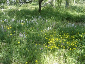 Meadows are the most biodiverse biotopes in Sweden and they are created grazing animals or hay making procedures. image courtesy: Sara Borgström